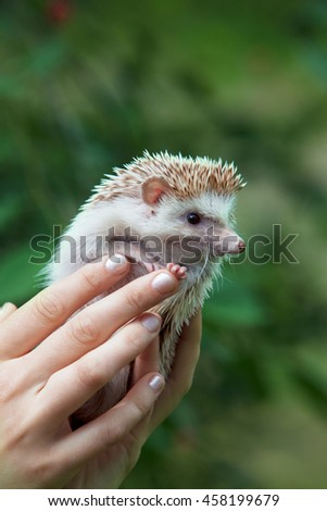 hedgehog in female hands on nature. close-up - stock photo
