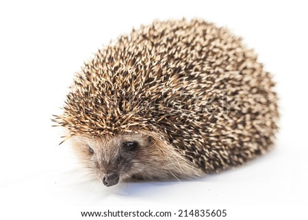 hedgehog in front of white background  - stock photo