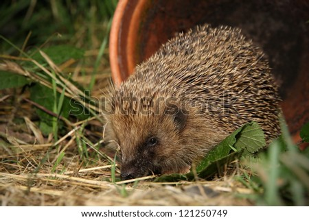 Hedgehog in garden at night,