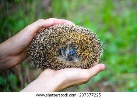 hedgehog in hands trust leaving care - stock photo