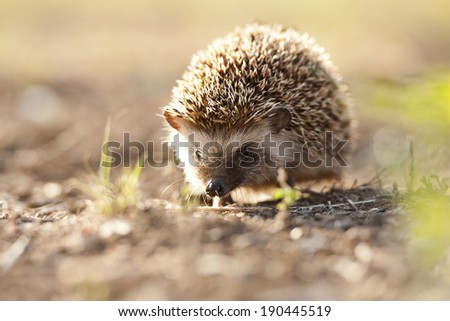 Hedgehog in morning light