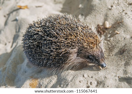 hedgehog in sand