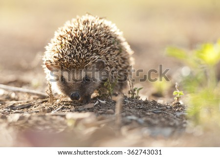 Hedgehog in South Africa - stock photo