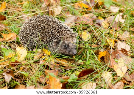 Hedgehog in the autumn forest crawling through old grass - stock photo