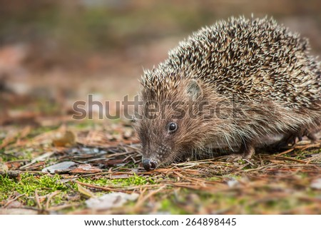 Hedgehog in the forest