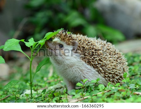 Hedgehog in the garden- blurred green background - stock photo