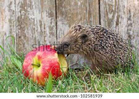 hedgehog in the garden/hedgehog/apple