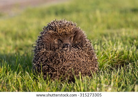 hedgehog in the grass