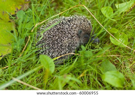 hedgehog in the grass in summer - stock photo