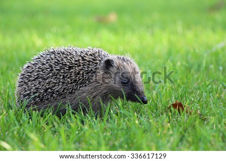 Hedgehog in the Grasse - stock photo