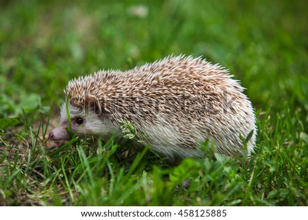 hedgehog in the green grass - stock photo