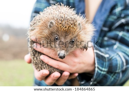 hedgehog in the hands of - stock photo