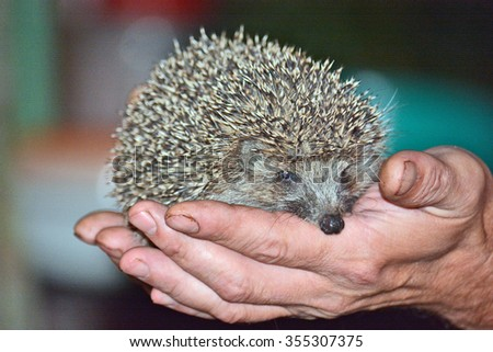 hedgehog in the hands of a man - stock photo