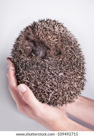 hedgehog in the hands of a white background with natural light - stock photo