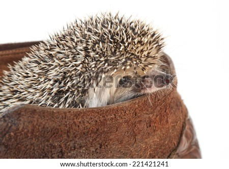 Hedgehog inside a boot. Studio shooting. - stock photo