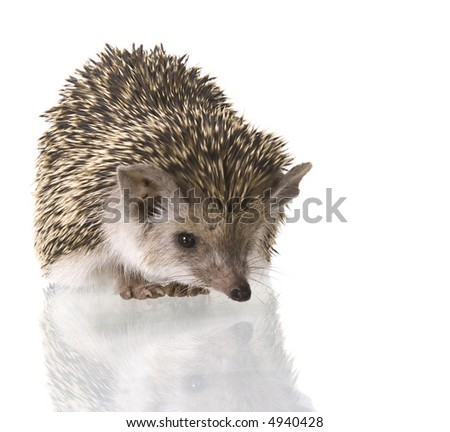 hedgehog isolate on white