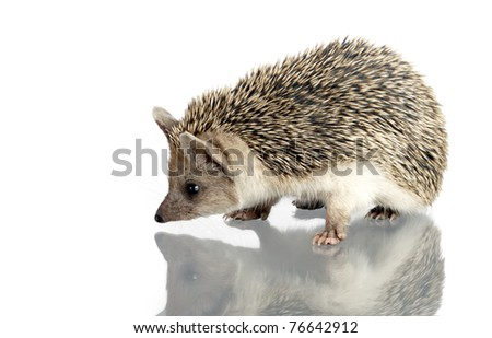 hedgehog isolate on white - stock photo