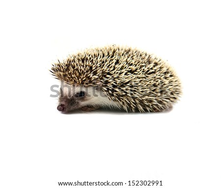 Hedgehog isolate on white background - stock photo