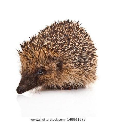 hedgehog isolated. - stock photo