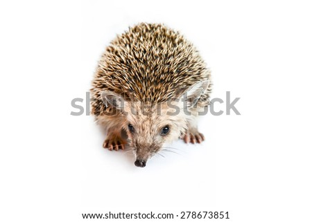 hedgehog isolated - stock photo