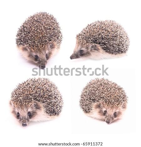 Hedgehog isolated - stock photo