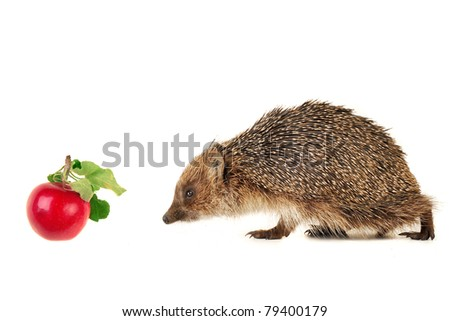 Hedgehog isolated on a white background - stock photo