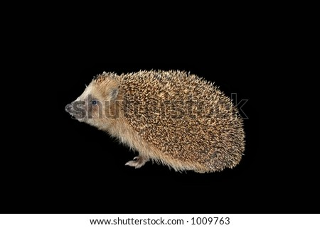 Hedgehog isolated on black - stock photo