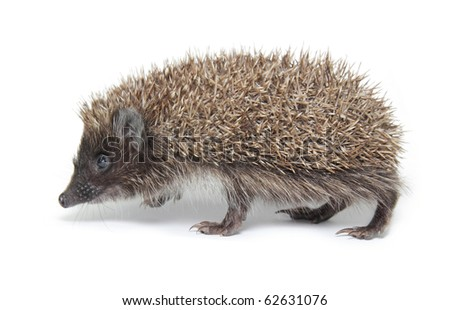 Hedgehog isolated on white - stock photo