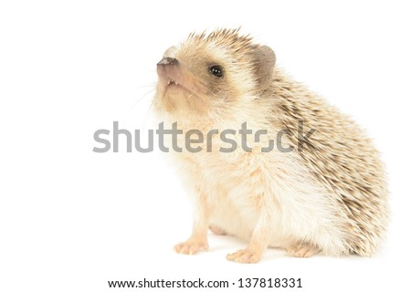 Hedgehog isolated on white background. - stock photo