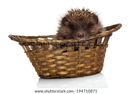 Hedgehog isolated on white background - stock photo