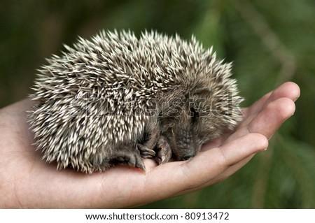 Hedgehog lying asleep in the human hand. - stock photo