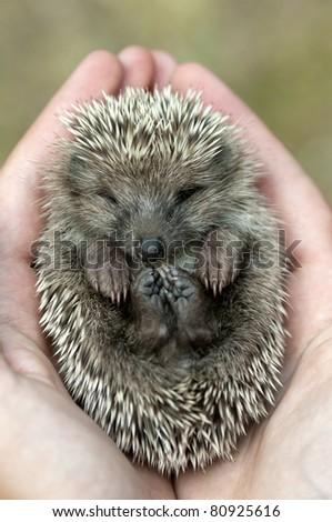 Hedgehog lying asleep in the human hands. - stock photo
