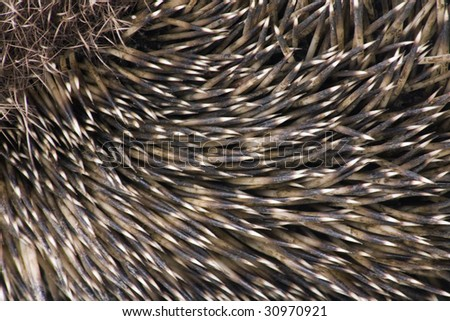hedgehog male adult close up - stock photo