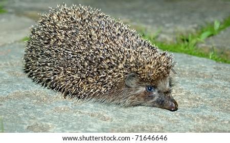 Hedgehog on a foot path - stock photo