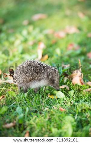 Hedgehog on a grass - stock photo