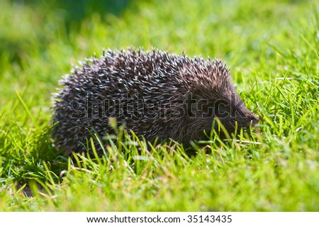 Hedgehog on a lawn