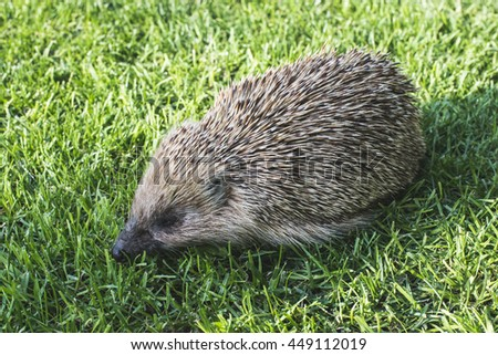 Hedgehog on a mountain meadow.  - stock photo