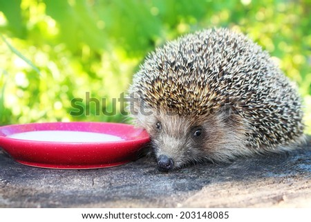 Hedgehog on a stump in the garden drinking milk from a saucer. - stock photo