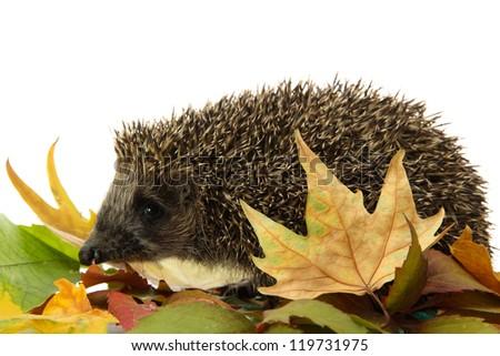 Hedgehog on autumn leaves, isolated on white - stock photo