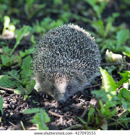 Hedgehog on grass - stock photo