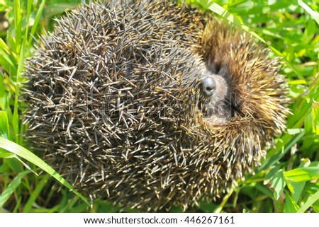 Hedgehog on green grass - stock photo