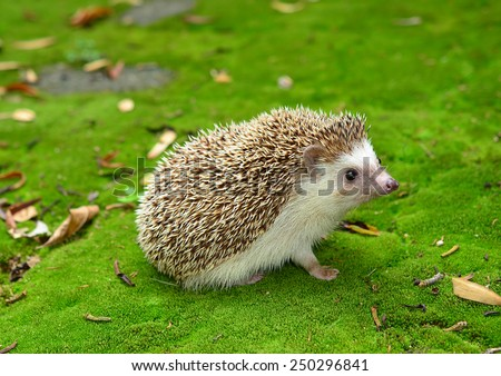 Hedgehog on Moss green grass - stock photo