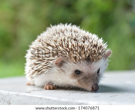 Hedgehog on table - stock photo