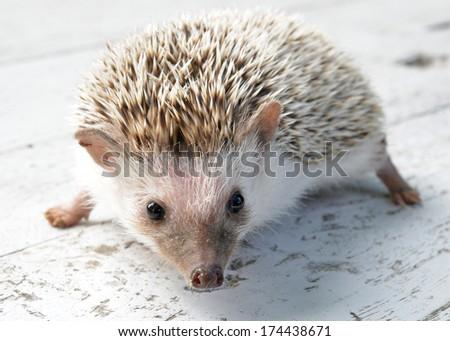 Hedgehog on table - stock photo