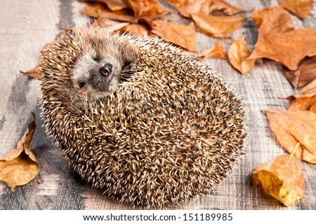 Hedgehog on the back on wooden background with dry leaves around. - stock photo
