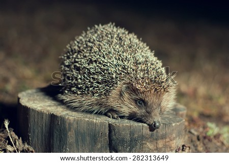 Hedgehog on the stump in the forest - stock photo