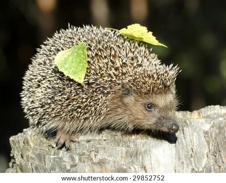 Hedgehog on the stump over the dark background - stock photo