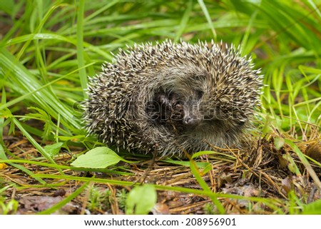 hedgehog on the white background - stock photo