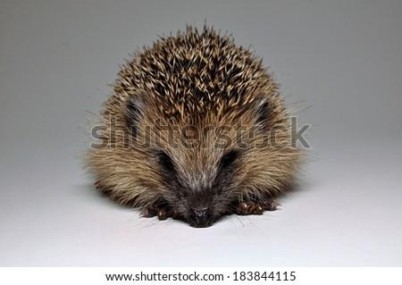 Hedgehog on white background - stock photo