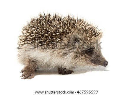 Hedgehog on white background, Russia, village, summer